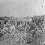 Photograph of men and mules in corn field